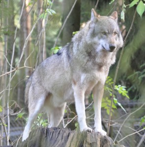 Canis lupus in the Lüneburg Heath wildlife park, Germany (source: Wikimedia, user Quartl)