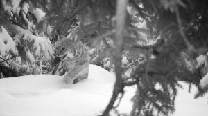 Lynx caught on camera