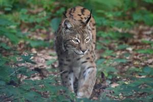 Balkan Lynx (Photo: Jörg Pukownik)