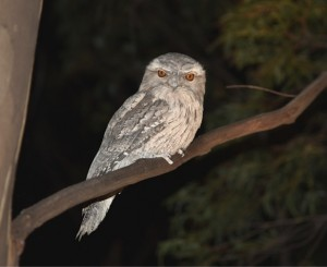 Tawny frogmouth, Blue Mountain View (photo: B. Richardson)