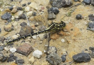 Dragonfly – austrogomphus guerini, Blue Mountain View (photo: B. Richardson)
