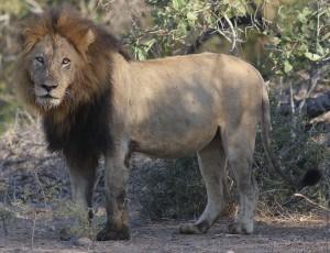 Lion, Kruger National Park, South Africa (photo J. Lewis)